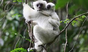 The Silky Sifaka is one of the most endangered primates in the world.