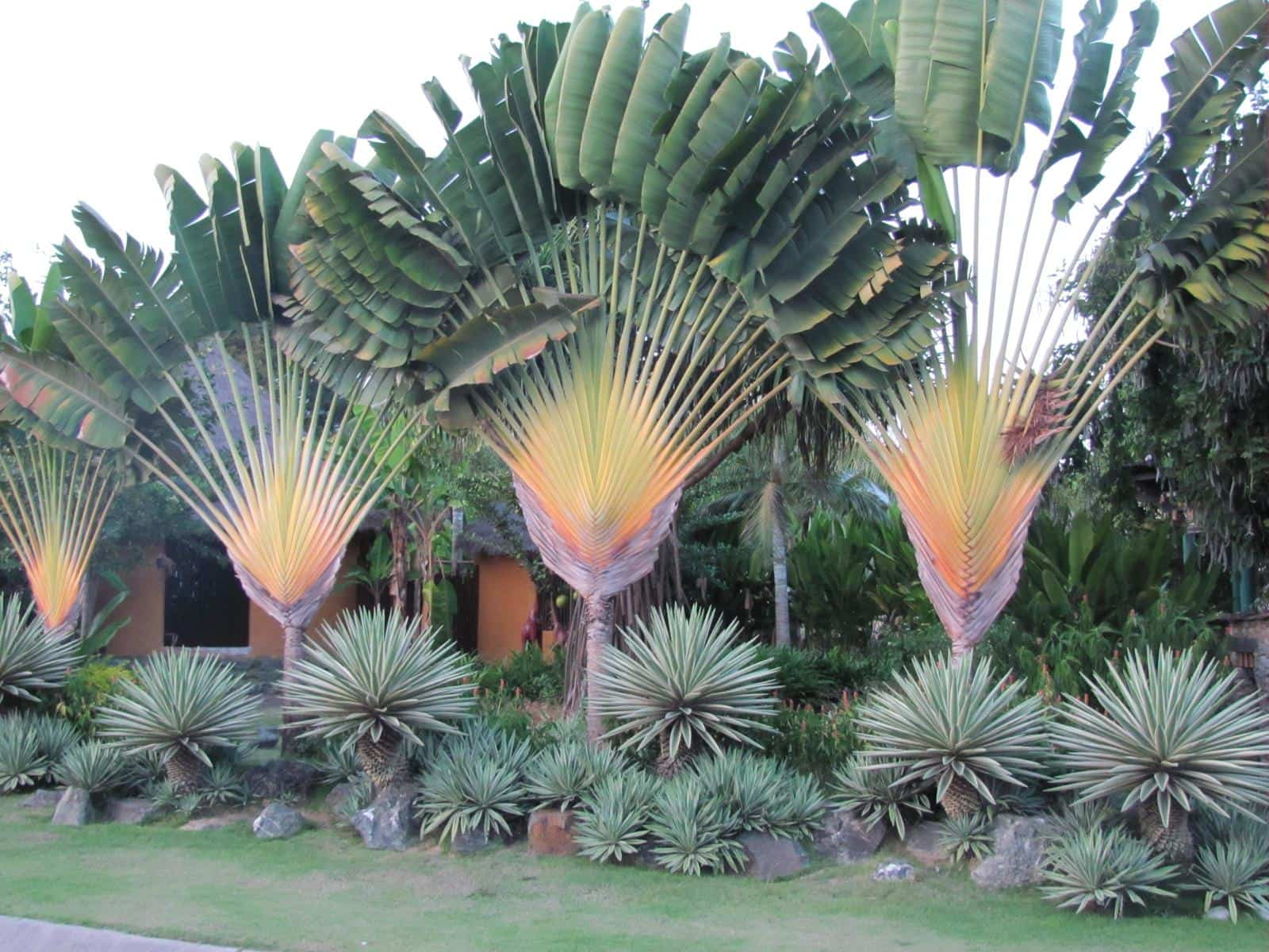 Traveller's Palm, one of the native palms of Madagascar.