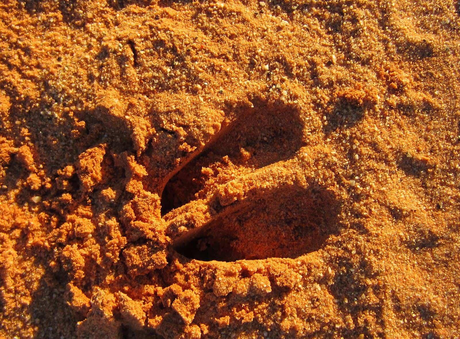 Buck spoor in the damp sand.