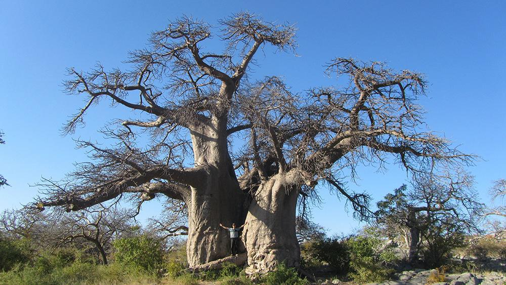 A giant Baobab tree on Kubu Island.