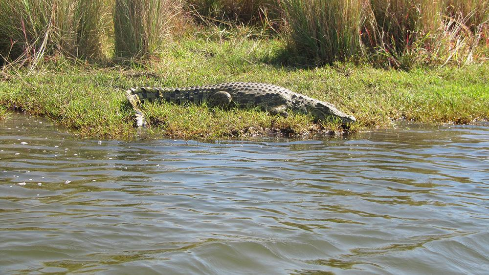A huge crocodile on the bank of the Chobe River.
