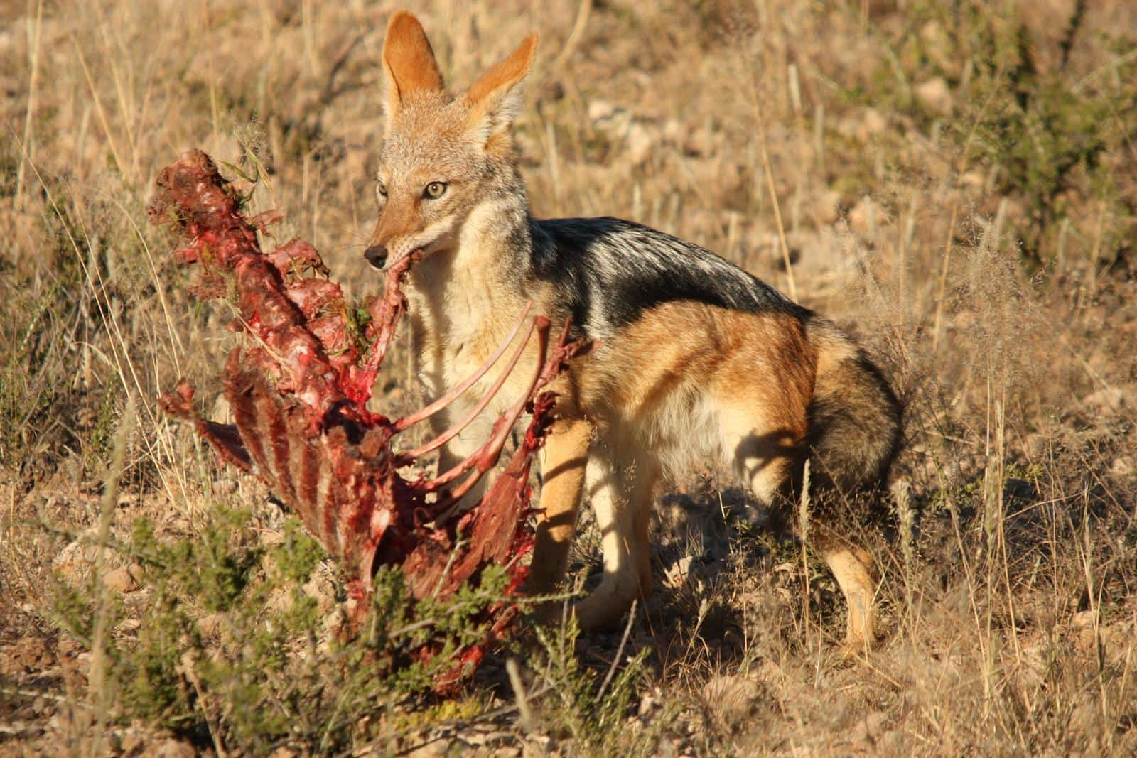 Be careful of animals like jackal that seem tame.