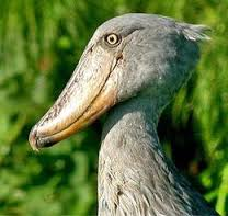 Shoebill Stork (photo taken from the internet)