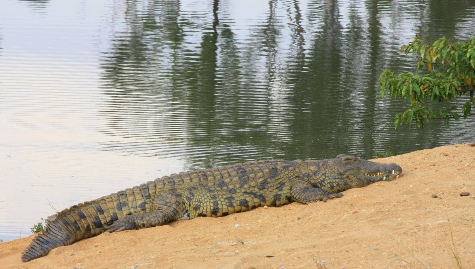 One of the resident crocodiles.
