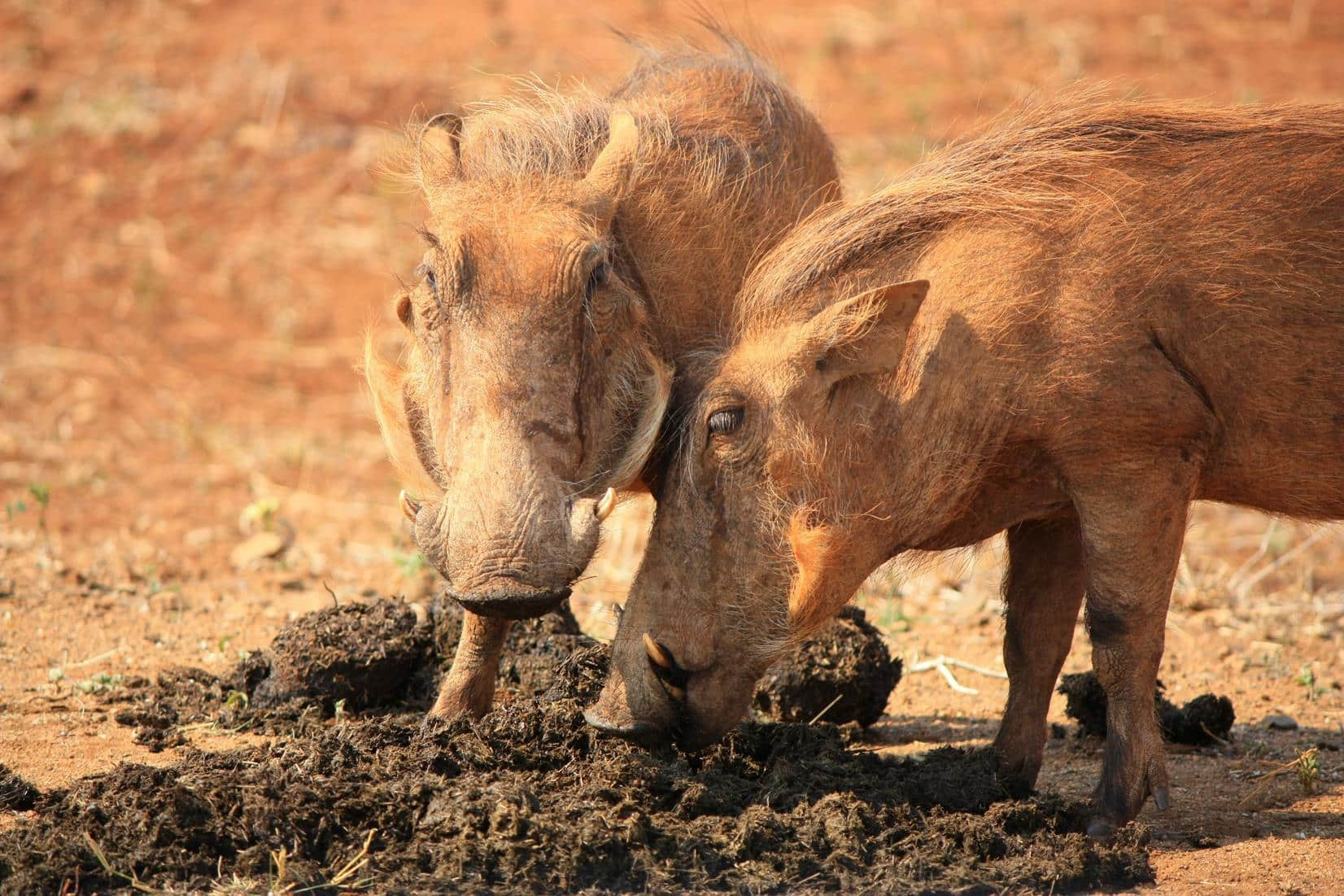 Warthog foraging for something edible in elephant dung.