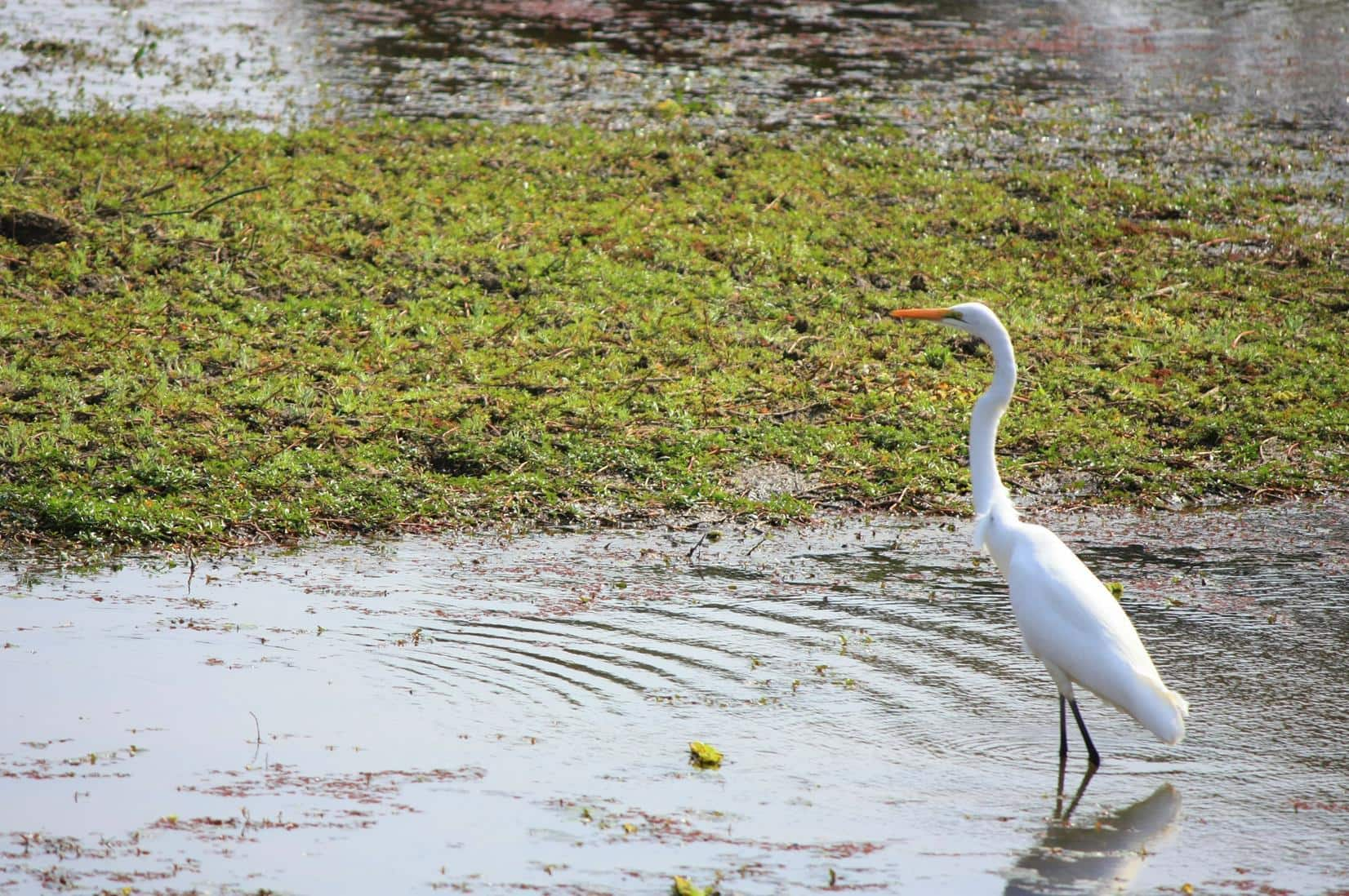 A White Heron in the shallow water of the Letaba River.