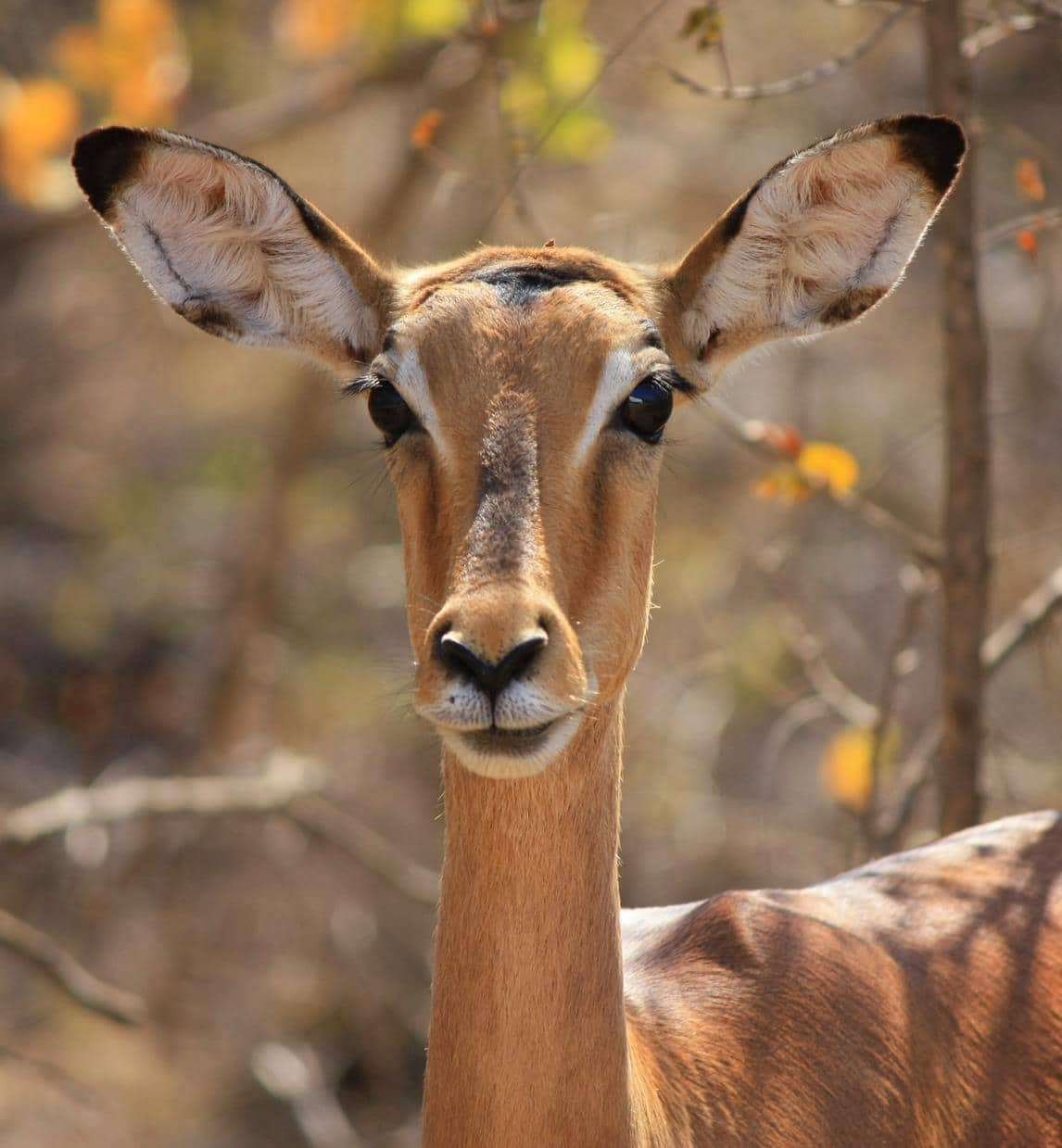 Impala with soft doe eyes.