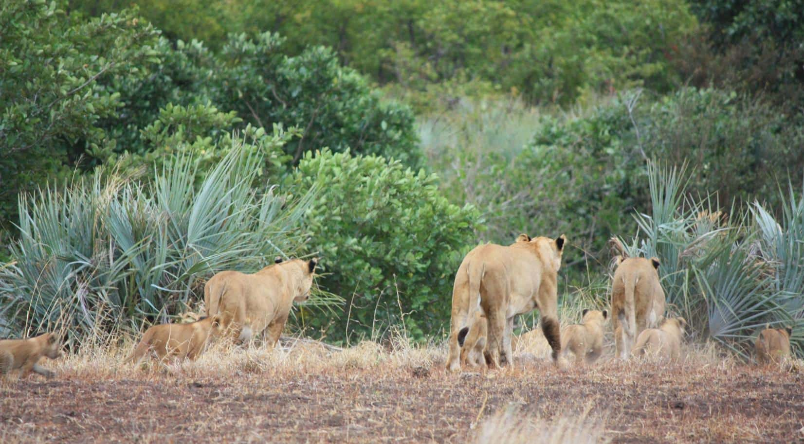 A quick glimpse of three lionesses with cubs.