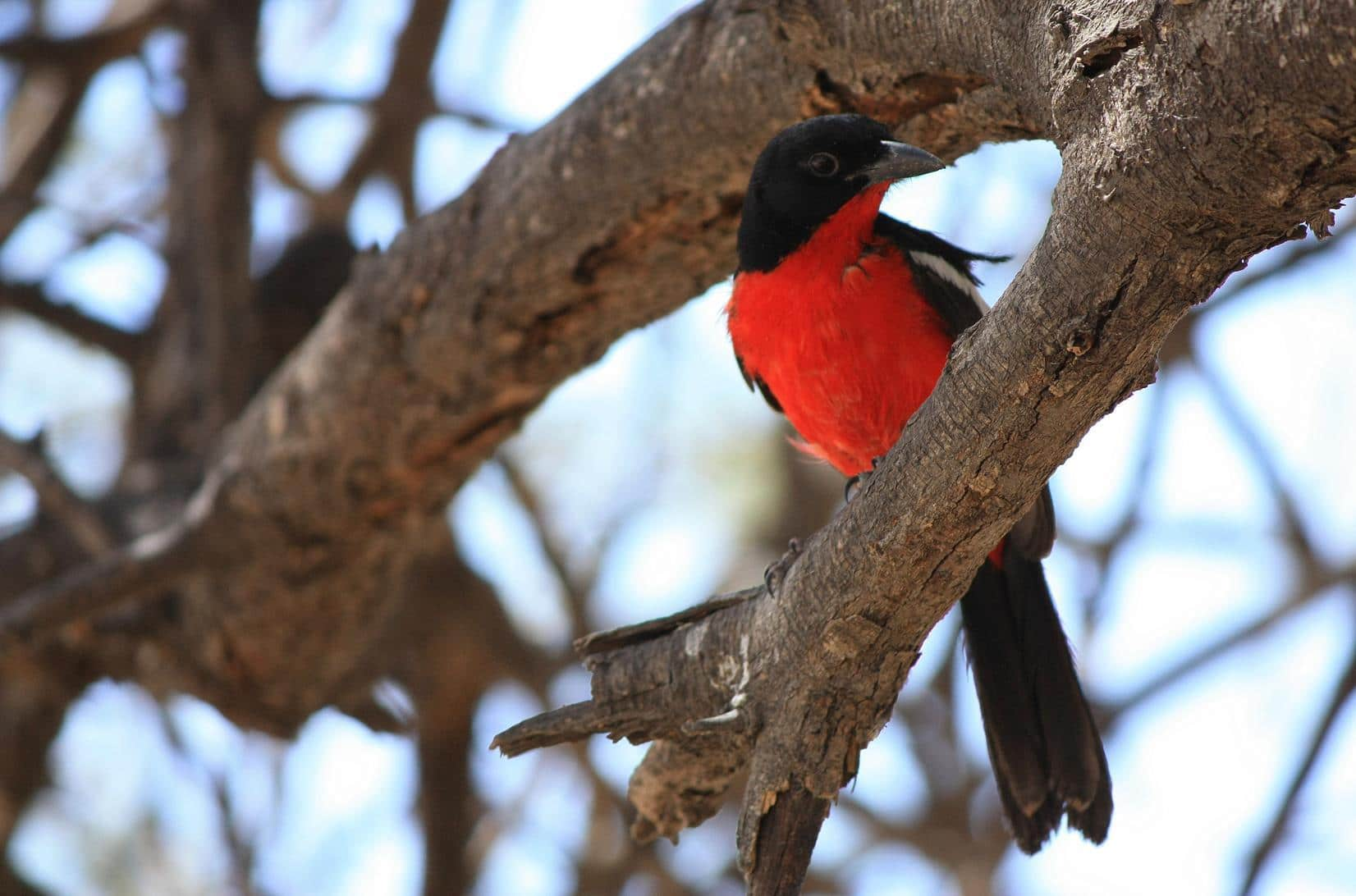 A Crimson-breasted shrike.