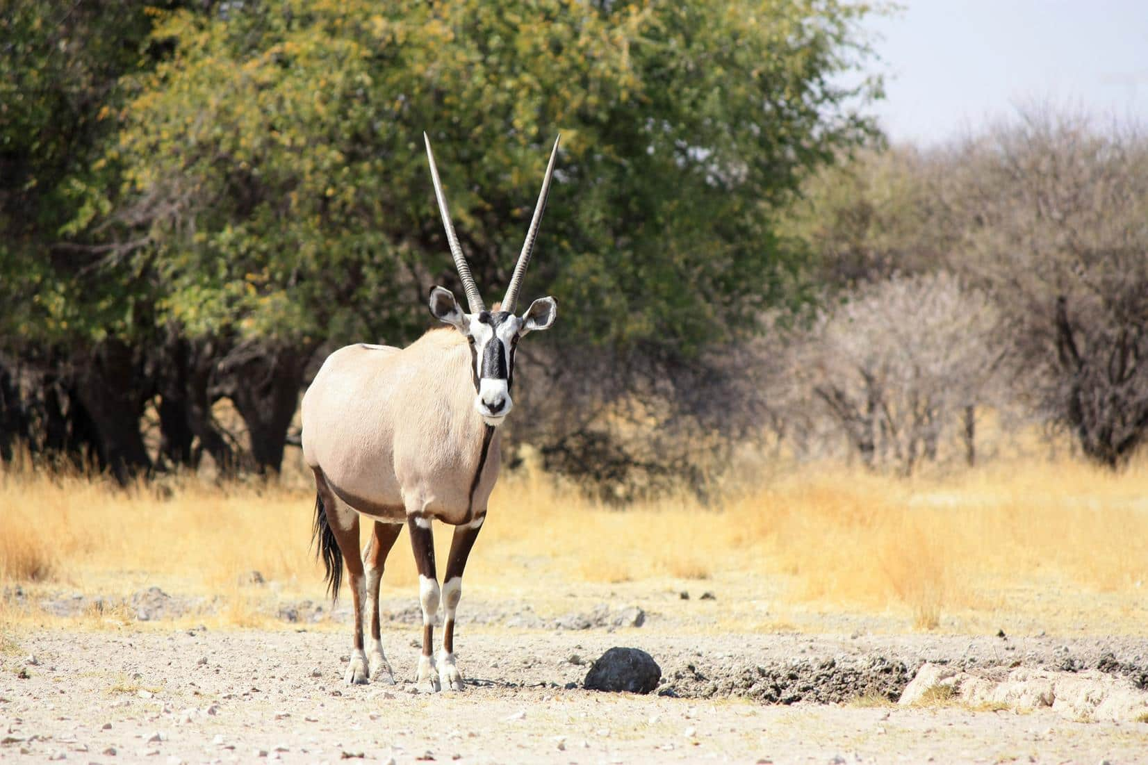 An oryx coming to drink.