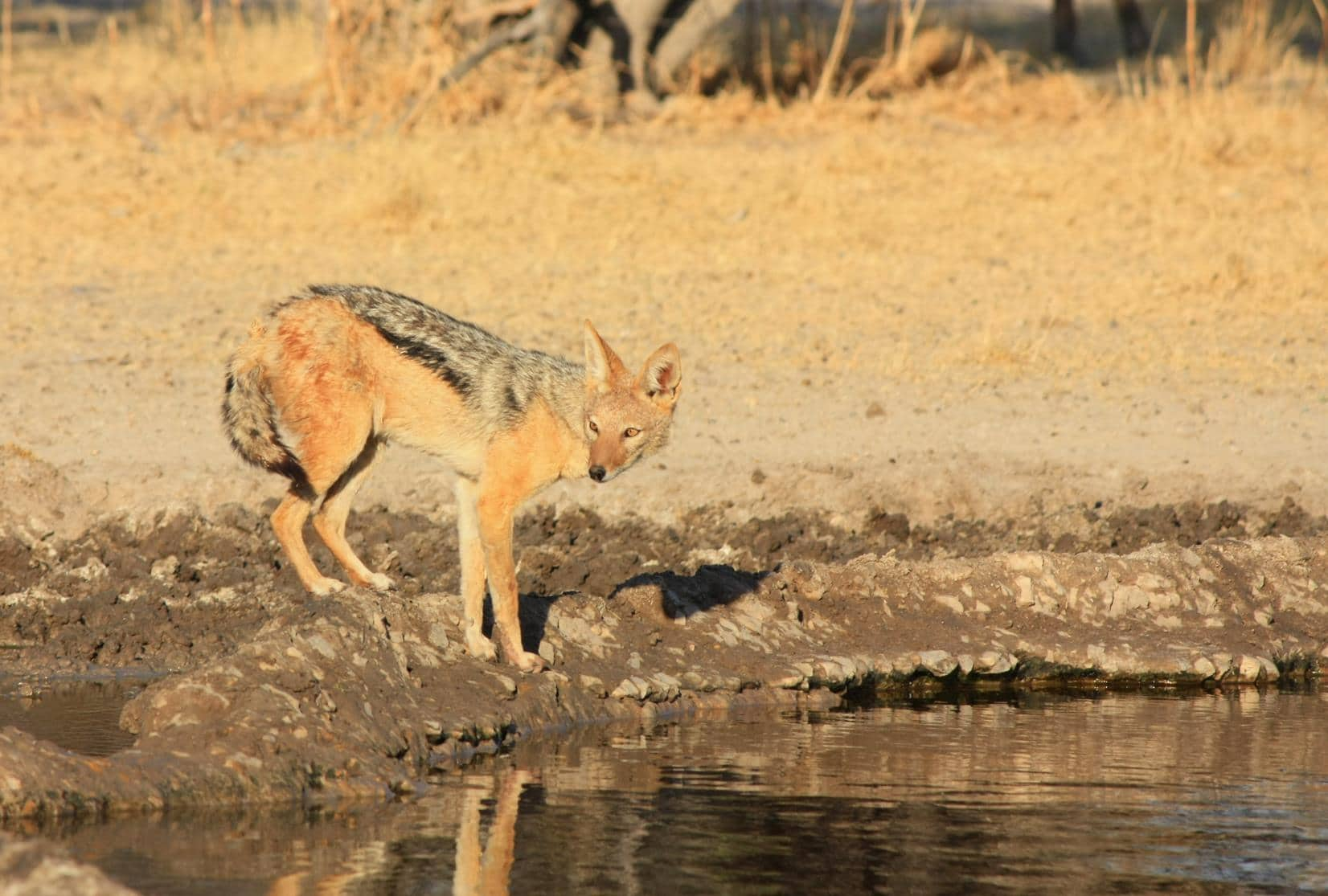 A jackal coming to drink at Sunday Pan waterhole.