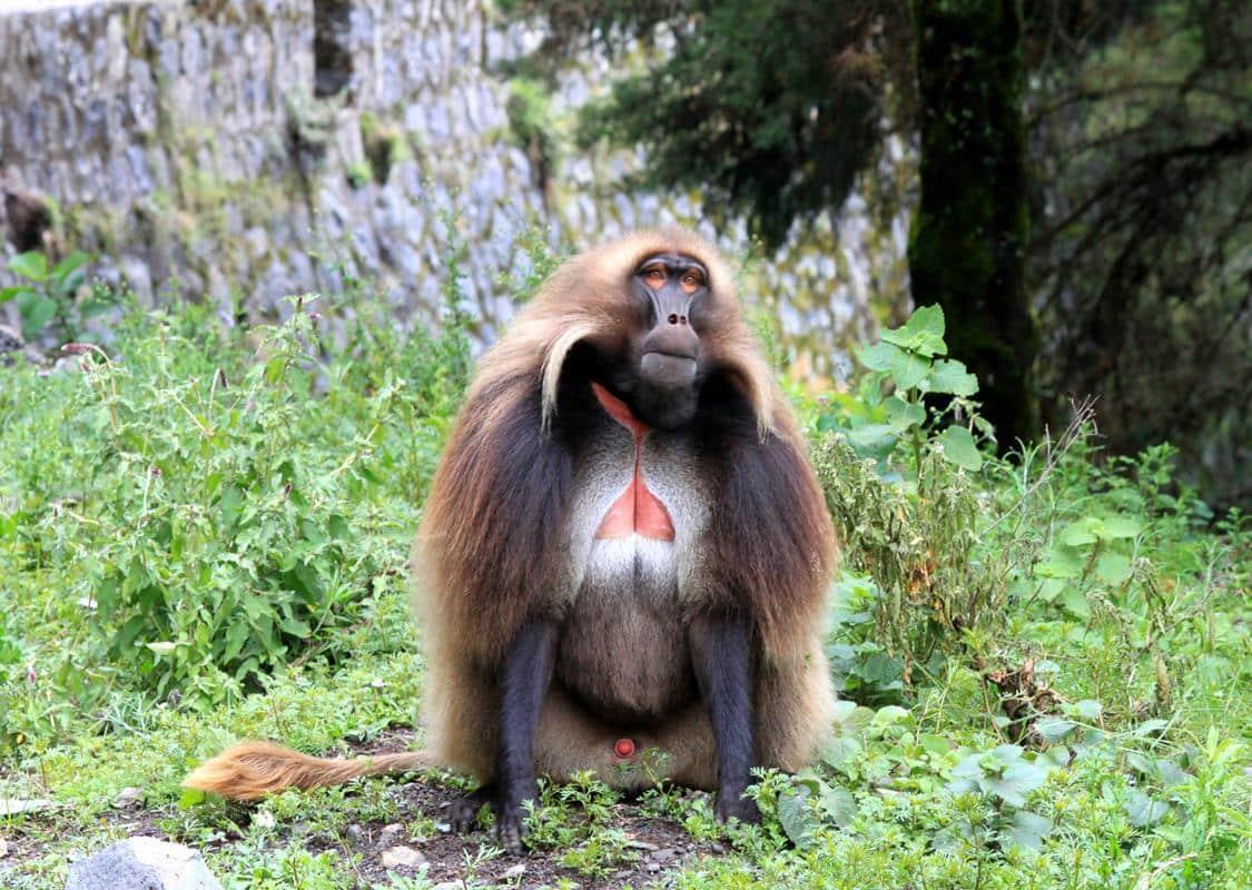 A male Gelada monkey.