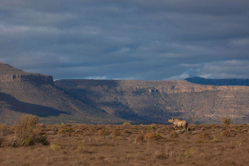 Rhino roaming at Samara in the Great Karoo.