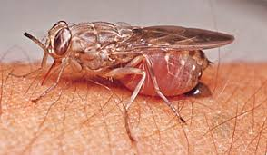 A Tsetse fly. (Source: Internet)