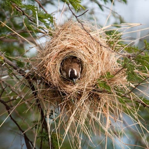 The Whitebrowed sparrow weaver's nest is quite messy. (Source: Internet)