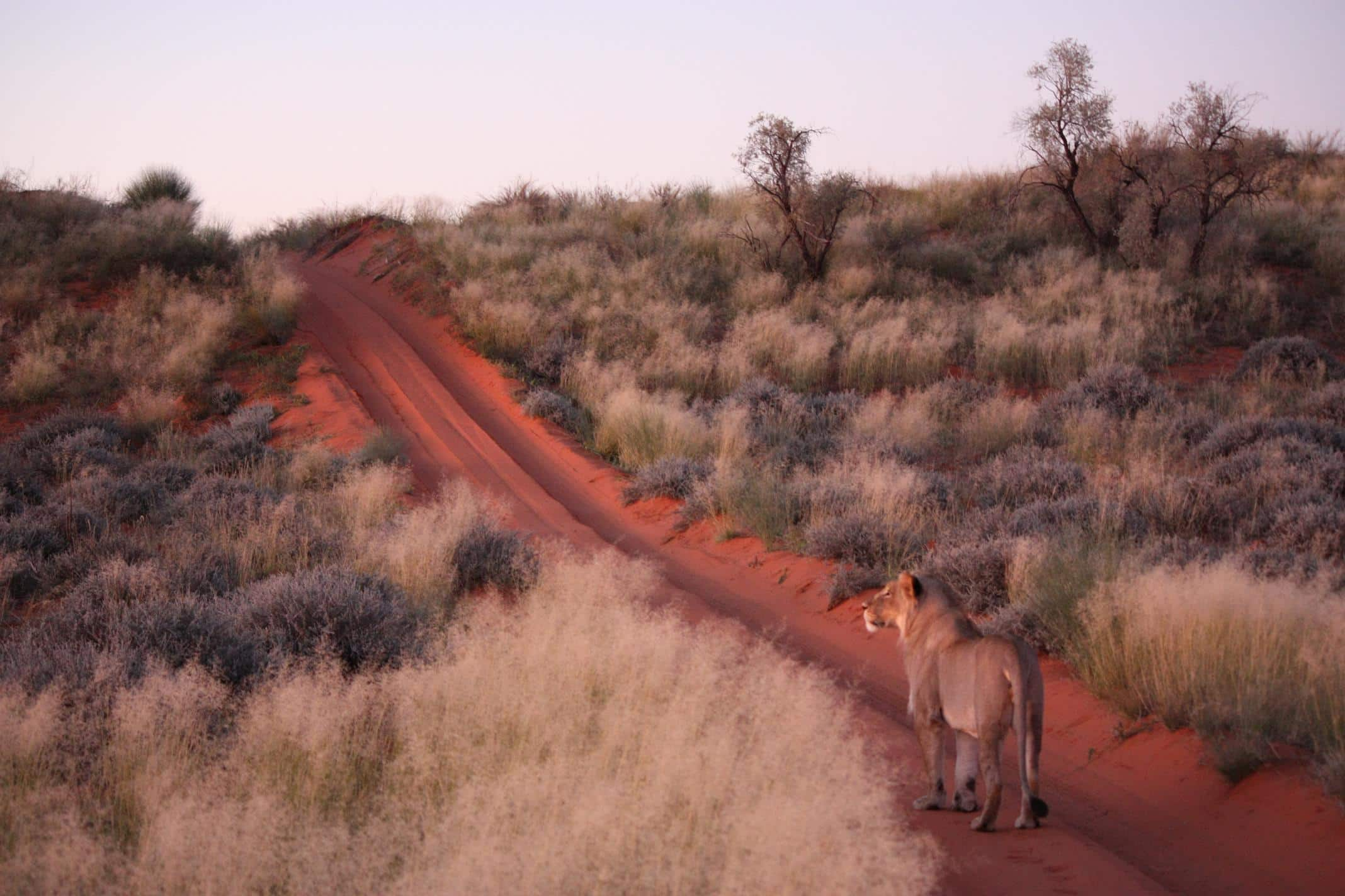 A lioness on the red Kalahari dunes of the Kgalagadi Transfrontier Park.