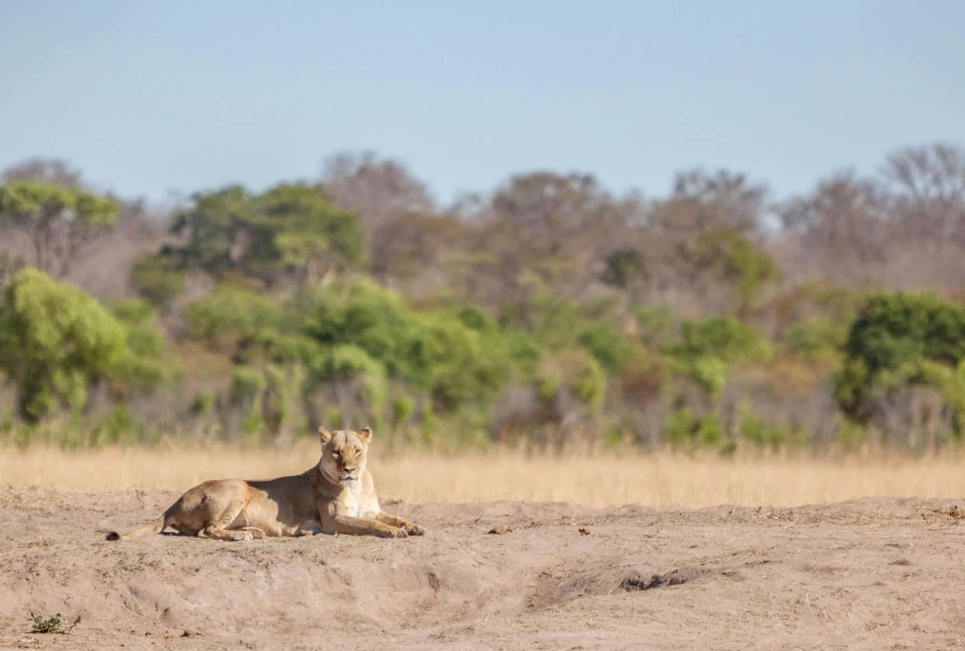 Hwange Game Count - Hwange National Park lion