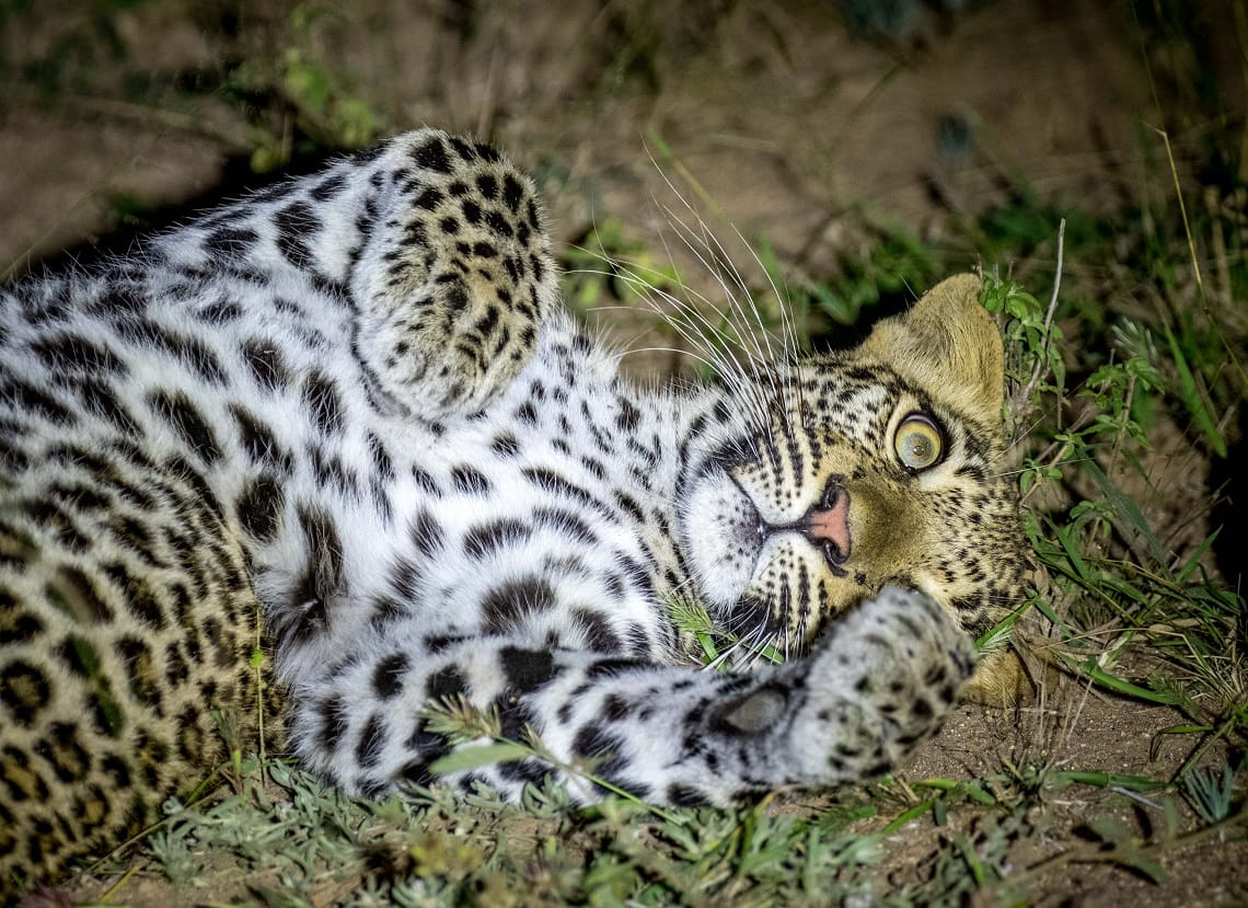 Samuel Cox - Leopard - Night photography tips