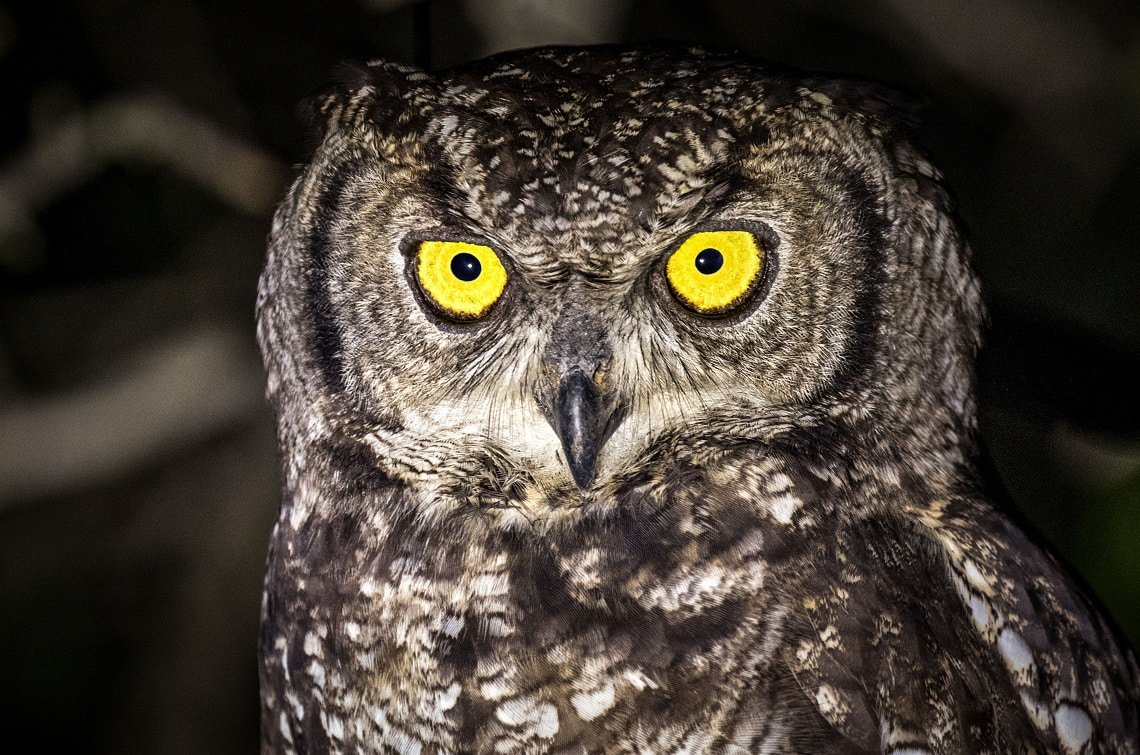 Samuel Cox - Giant spotted eagle-owl - Night photography tips