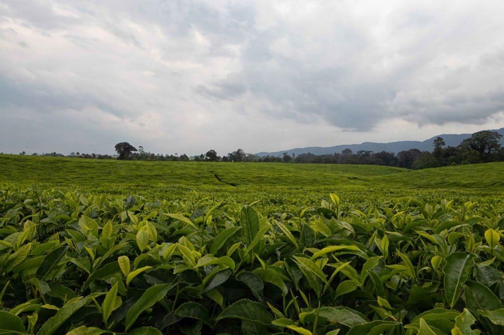 Tea Plantations in Rwanda - Johann Groenewald