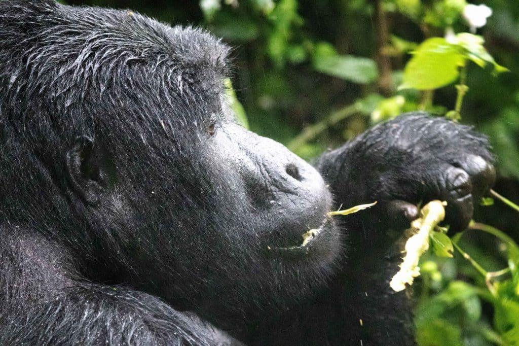 A gorilla chews on a leaf