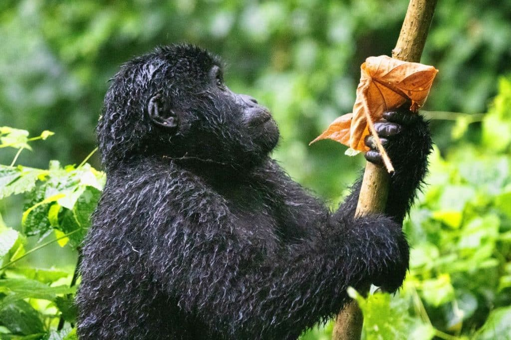 A mountain gorilla clings to a branch