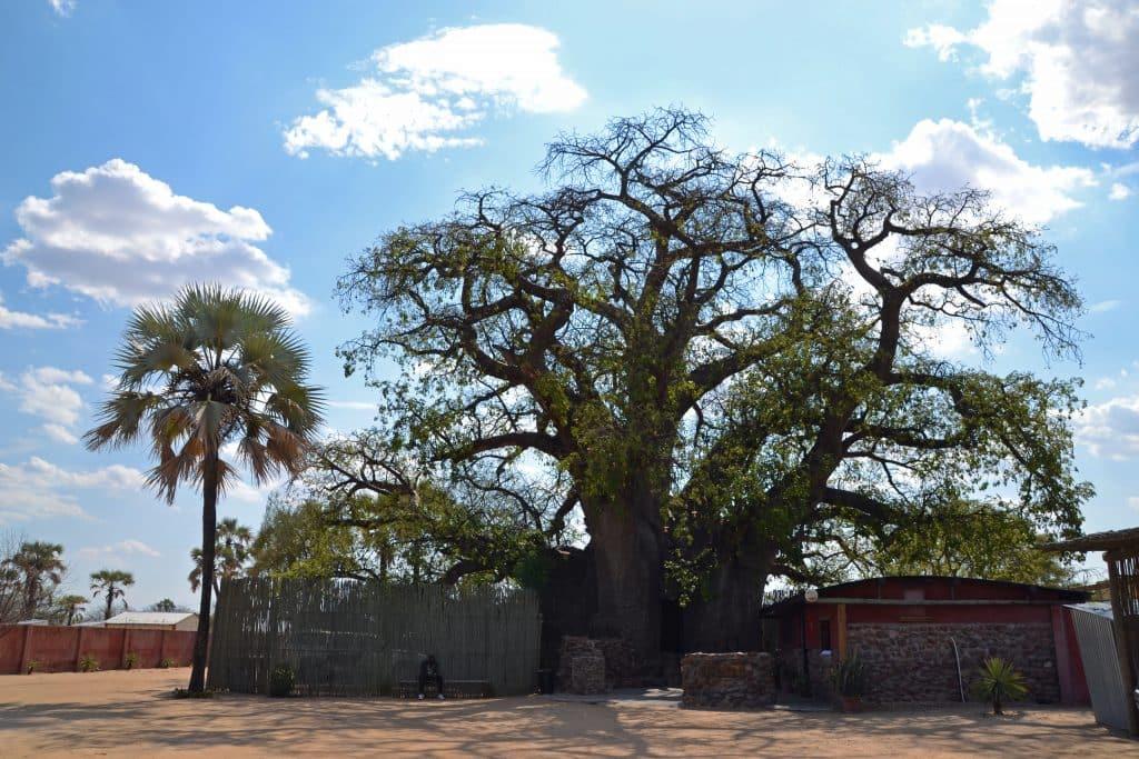 A giant Ombalantu Baobab