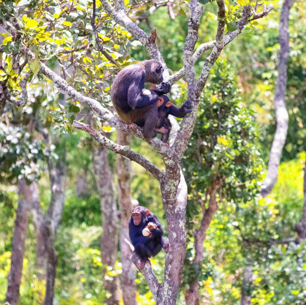 chimpanzees in a tree
