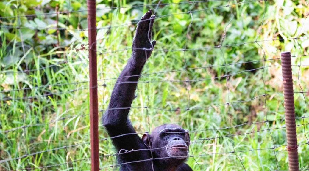A chimpanzee in Chimfunshi