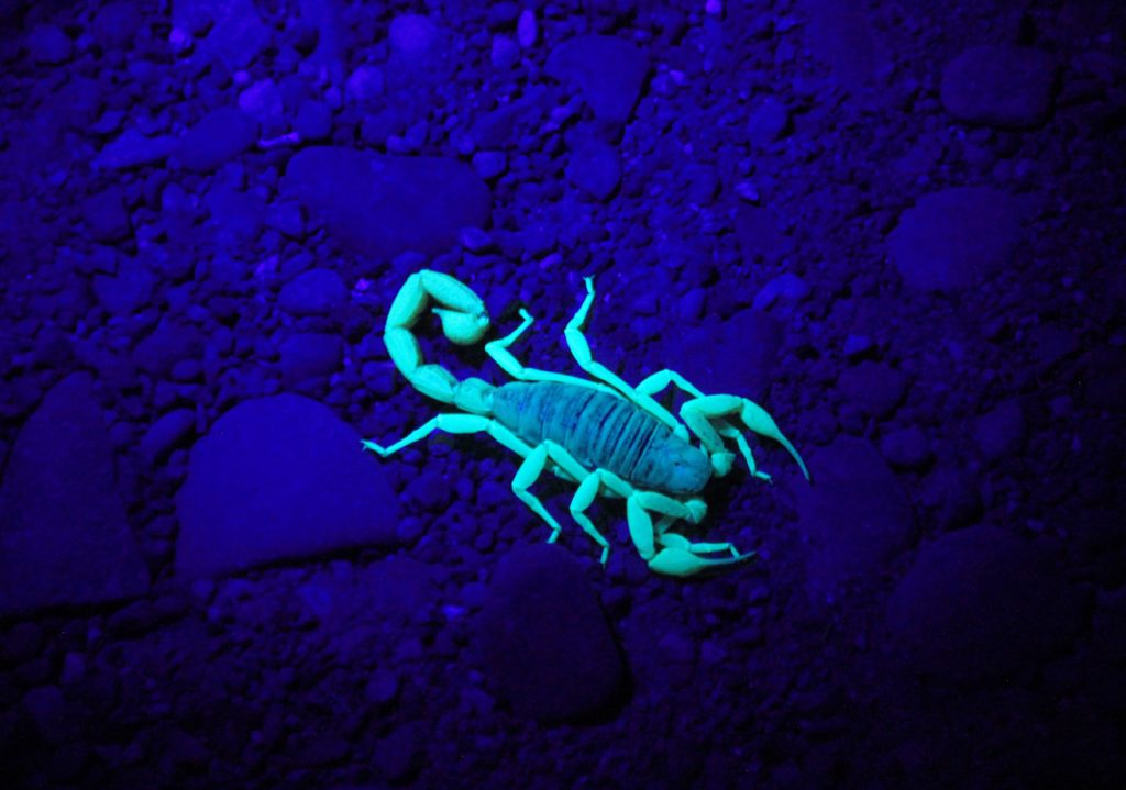 a glow-in-the-dark scorpion