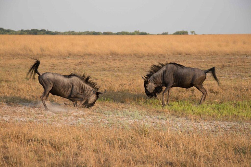 Wildebeest in Liuwa Plains