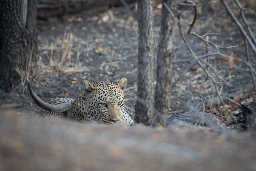 Leopard outside Punda Maria camp