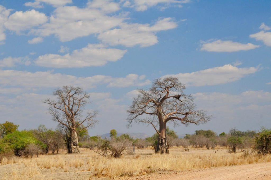 South Luangwa Twin Baobabs Eric van den Broele